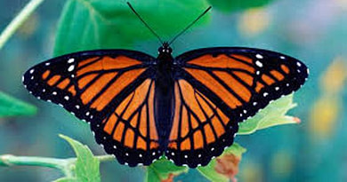 77 New Species of Butterfly in Maharashtra